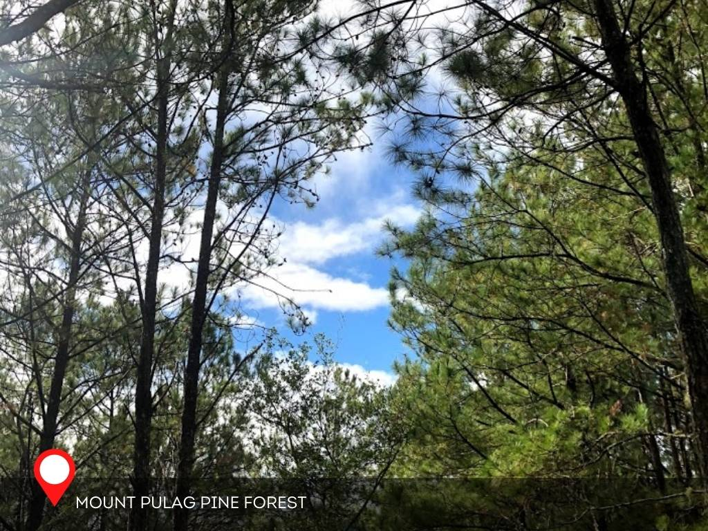 Pine Forest, Mount Pulag, Philippines