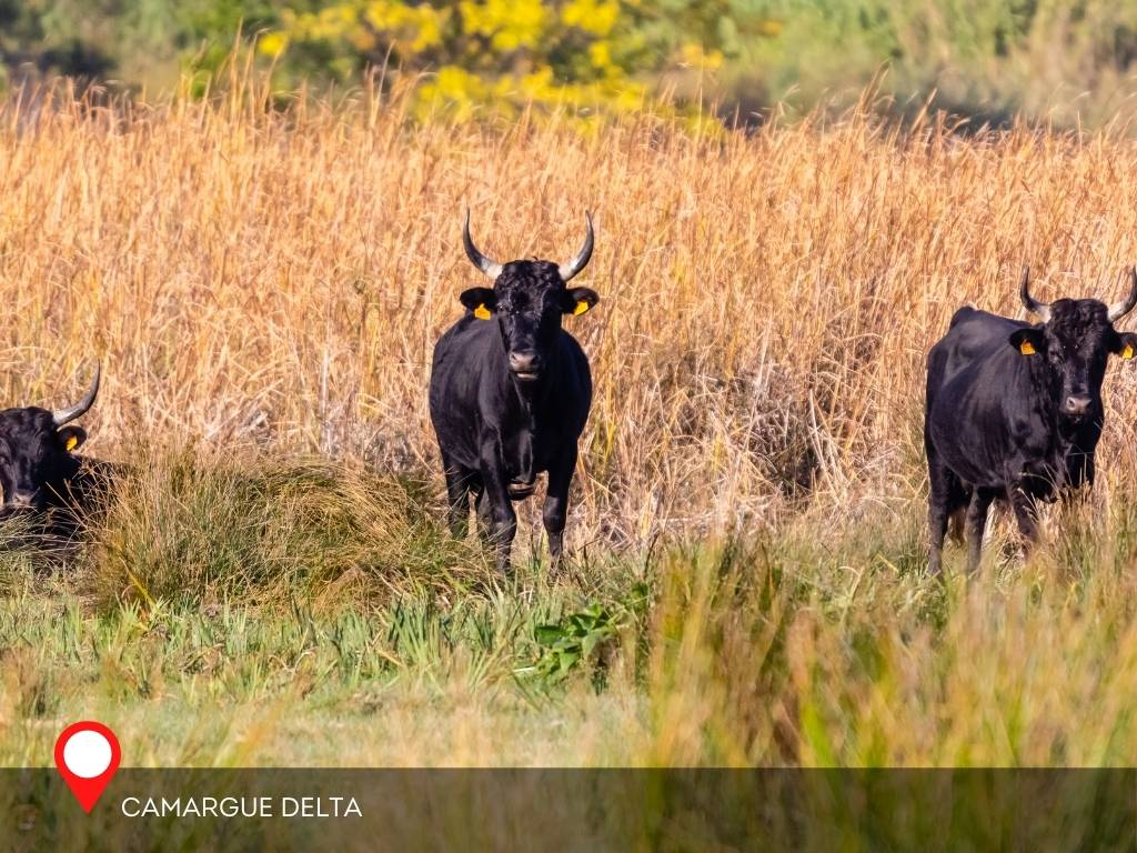 Bulls in Camarguie, Aigues-Mortes, France
