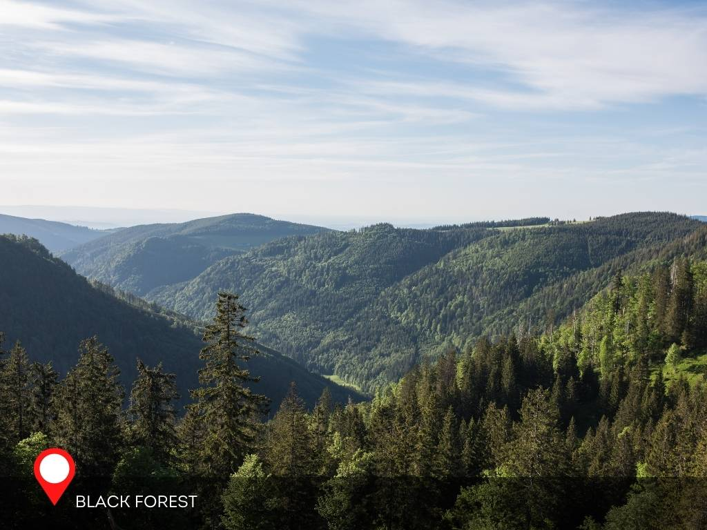 Spruce Trees, Black Forest, Germany