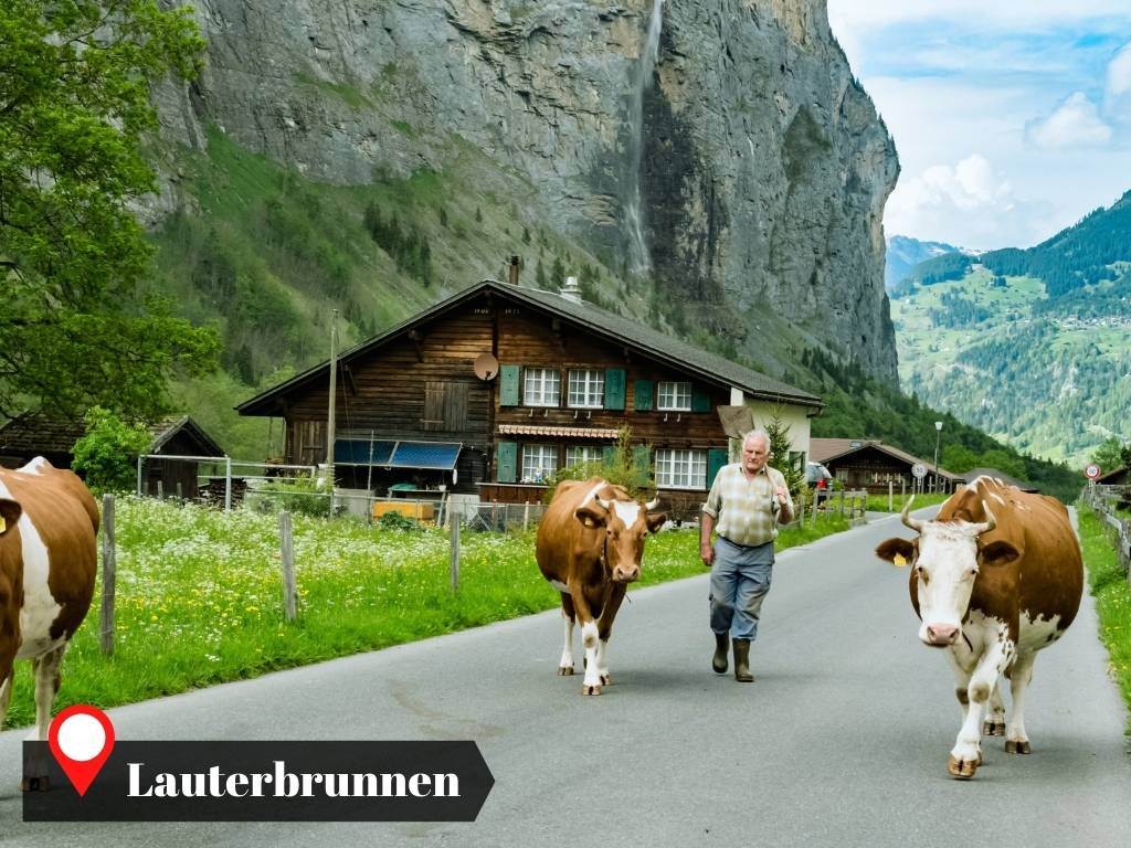 A local moving the cows in Lauterbrunnen, Switzerland